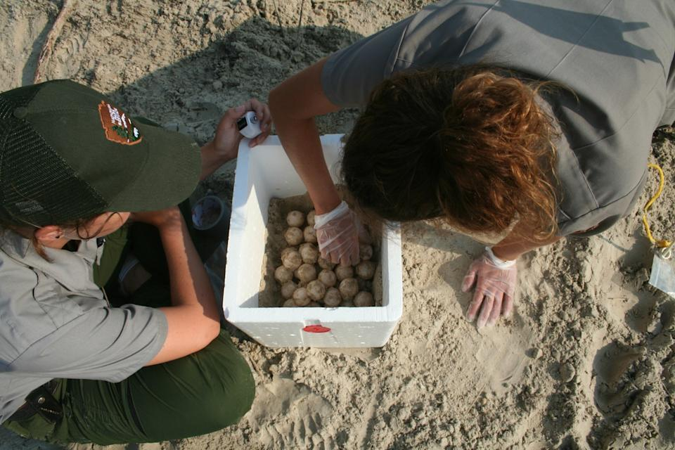 "Kemp's ridley sea turtle nests are collected and counted at Padre Island National seashore. <span class=""copyright"">(National Park Service)</span>"