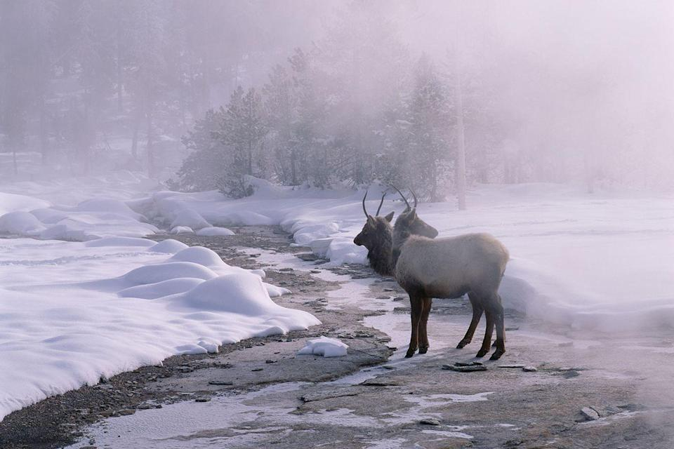 <p>Just a couple of elk taking a winter stroll in Yellowstone National Park.</p>