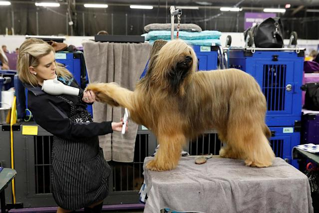 <p>Jambo, a Briard breed, is groomed in the benching area on Day One of competition at the Westminster Kennel Club 142nd Annual Dog Show in New York, Feb.12, 2018. (Photo: Shannon Stapleton/Reuters) </p>