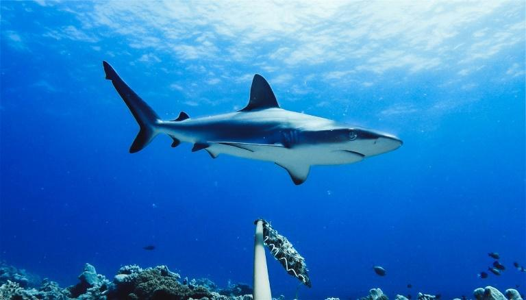 Destructive fishing practices are the most likely culprit for the reef shark losses, according to the study