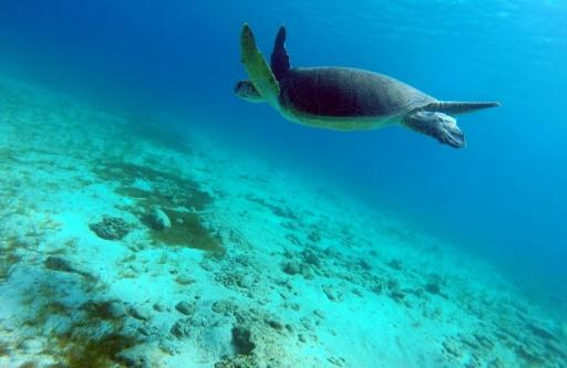 Green turtles migrate hundreds of kilometres from the Great Barrier Reef to lay their eggs each year
