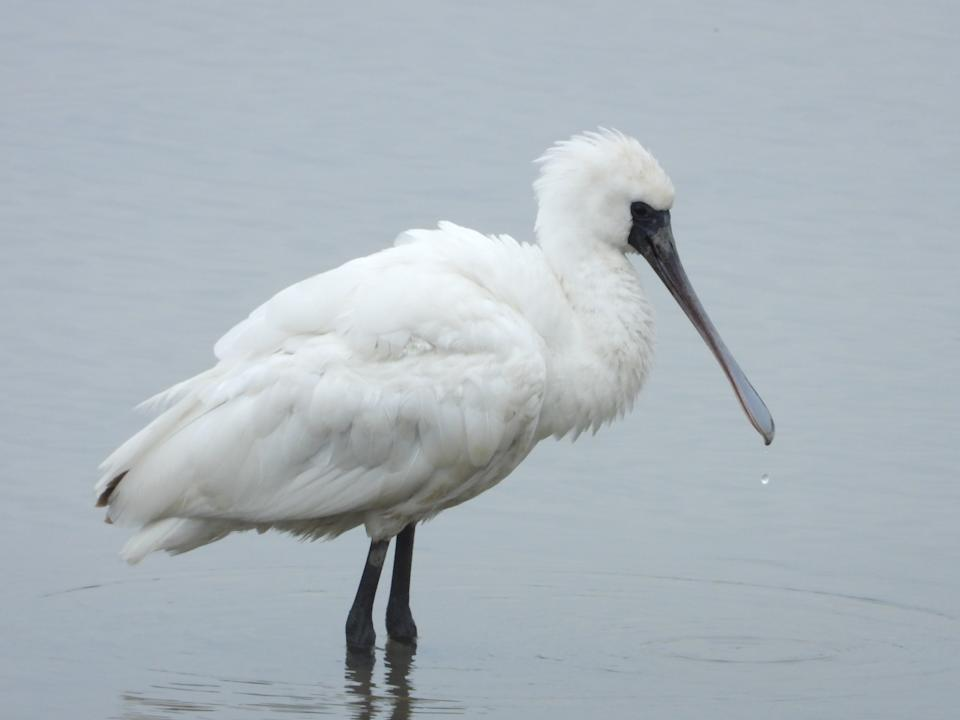 Black faced spoonbills are water birds with flattened, spatulate bills.They wade in water and sweep their beaks from side-to-side to detect prey.20% of this endangered bird can be found wintering in Hong Kong