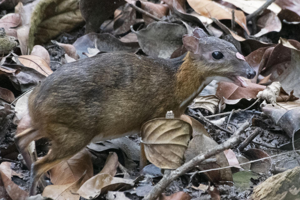 SINGAPORE, March 11, 2019 -- A rare mouse deer (tragulus kanchil) is spotted foraging in the forest at the central catchment area in Singapore, March 11, 2019. (Xinhua/Then Chih Wey) (Xinhua/Then Chih Wey via Getty Images)