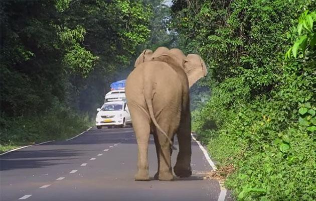 The elephant waits until the cars stop. Photo: YouTube