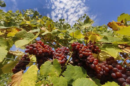 Bunches of grapes hang from the vine in a vineyard in Alsace, before their harvest in Orschwihr, France, in this September 26, 2015 file photo.  REUTERS/Jacky Naegelen/Files