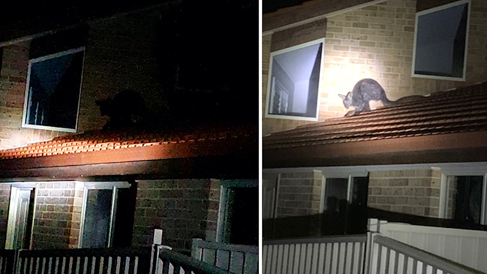 Split screen. Left - the side of a suburban house in darkness. Right - a torch shines on the roof, illuminating a wallaby.