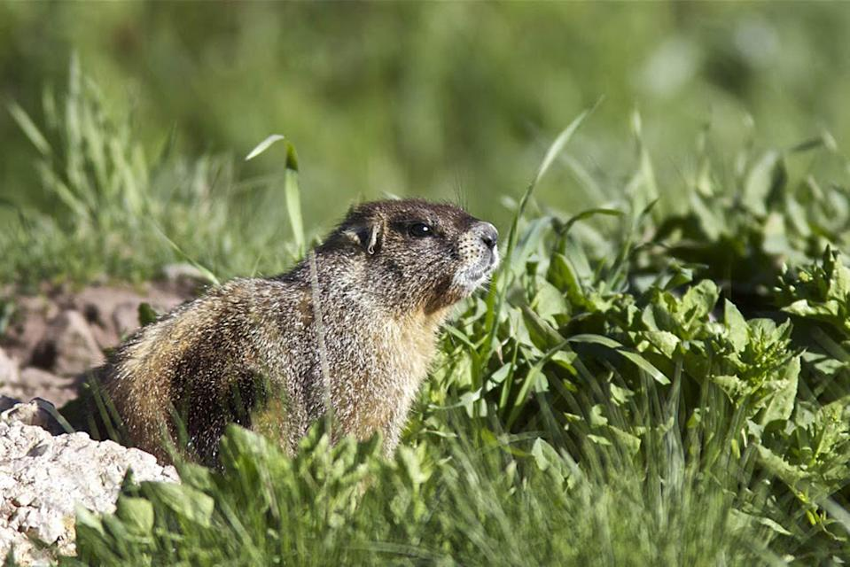 Two people have died after eating raw marmot meat (Picture: PA)