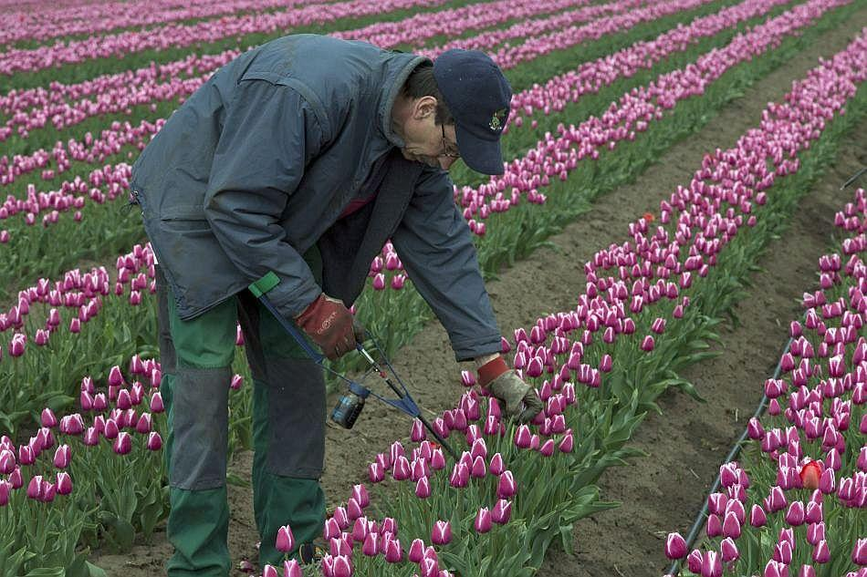 "Weeding out off-color tulips is routine though there was a time when farmers' fortunes crashed due to a ""mosaic disease"" that wiped out entire tulip fields. The disease has almost been completely eradicated today."