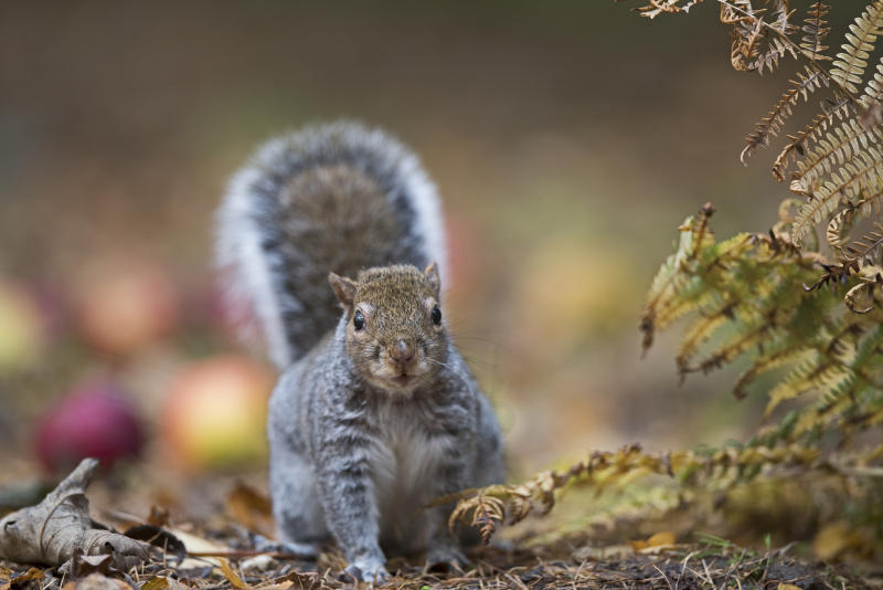 Grey squirrel, Sciurus carolinensis, Norfolk. (Photo by: David Tipling/Universal Images Group via Getty Images)