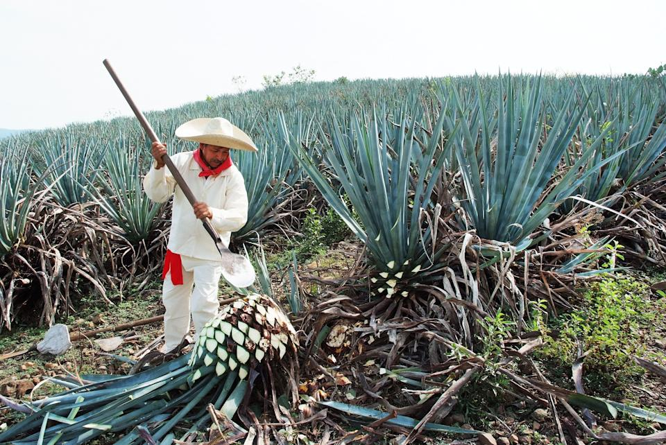 A jimador works the agave field in Tequila, Jalisco, Mexico. (Photo: camaralenta via Getty Images)