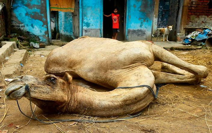 A camel in Kolkata, bought for the festival of Eid al-Adha - GETTY IMAGES