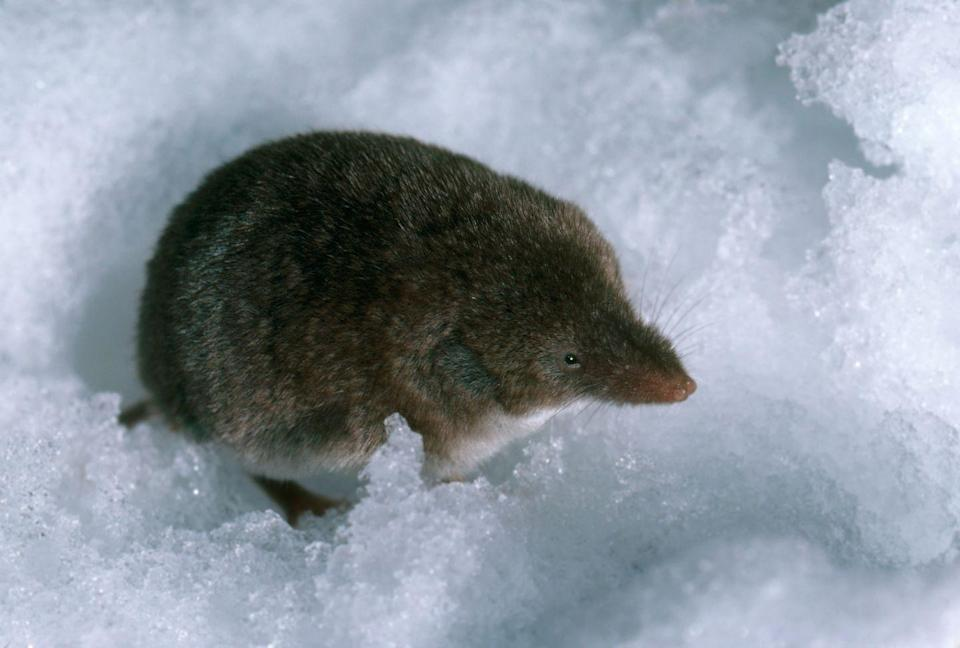 <p><strong>North American Least Shrew - </strong>This small rodent is mostly blind and deaf. Urbanization in Connecticut is causing populations to decrease quickly. </p>