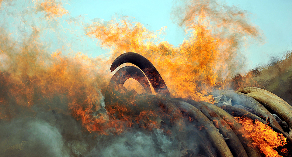 Ivory burning in a pile.