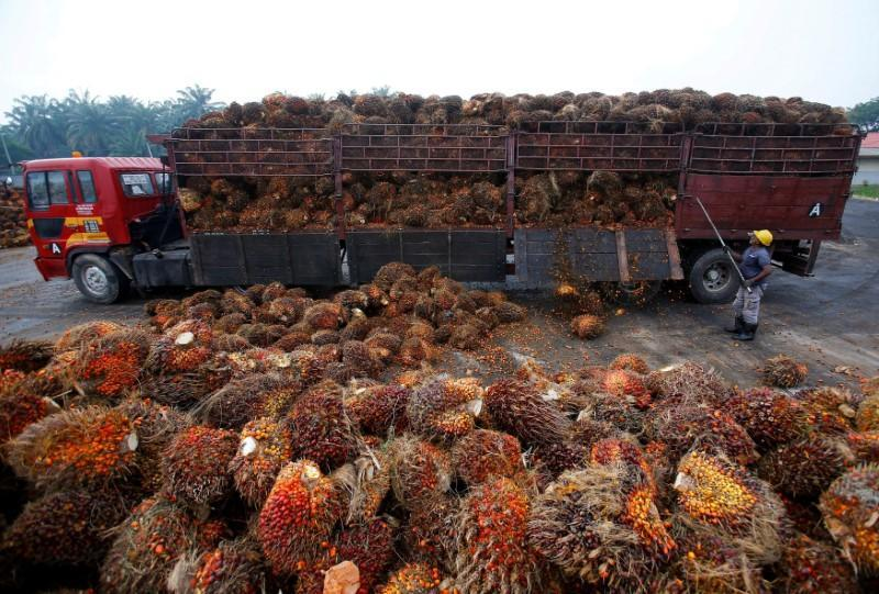 FILE PHOTO: A worker unloads palm oil fruits from a lorry inside a palm oil factory in Salak Tinggi, outside Kuala Lumpur, Malaysia
