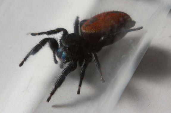 Space-Flown Spider Dies in Smithsonian