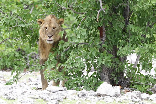 <p>A young lion peaks out from behind a tree in a wooded area at the Olifantsbad watering hole. (Photo: Gordon Donovan/Yahoo News) </p>