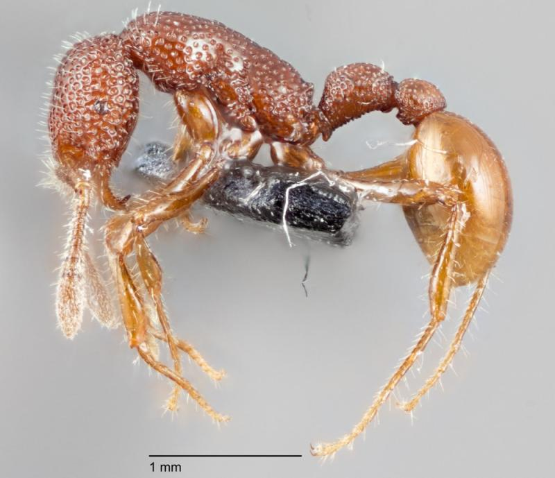 Cannibal 'T. Rex' Ants Seen Live for 1st Time Ever (and They're Shy)