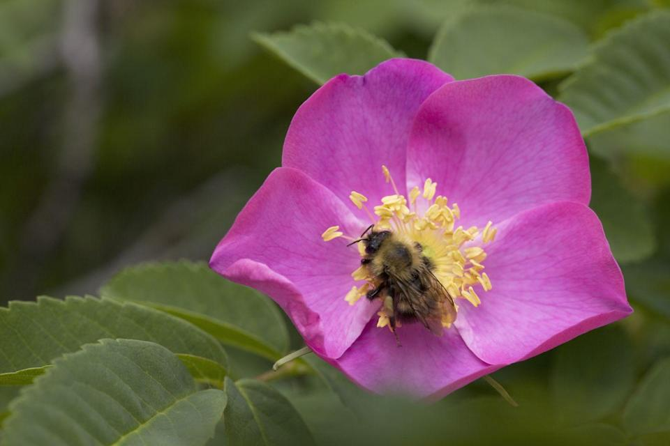 """<p>Found in a variety of colors, all with the same, fragrant scent, the <a href=""""https://statesymbolsusa.org/symbol-official-item/iowa/state-flower/wild-prairie-rose"""" rel=""""nofollow noopener"""" target=""""_blank"""" data-ylk=""""slk:wild prairie rose"""" class=""""link rapid-noclick-resp"""">wild prairie rose</a> has been the state flower of Iowa since 1897.</p>"""