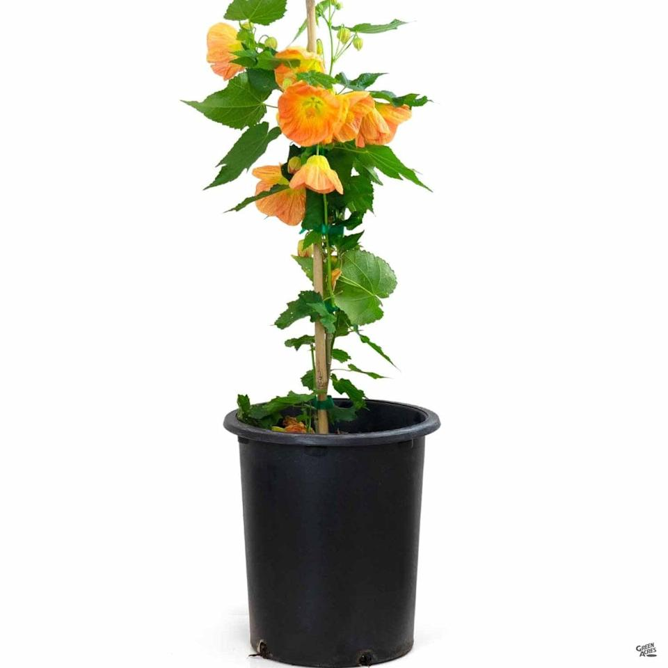 <p>Intricate and uniquely shaped, this <span>Flowering Maple</span> ($11) plant will dress up any room in the house. It's tolerant of most soil types and requires fertilization in spring before new growth can occur.</p>