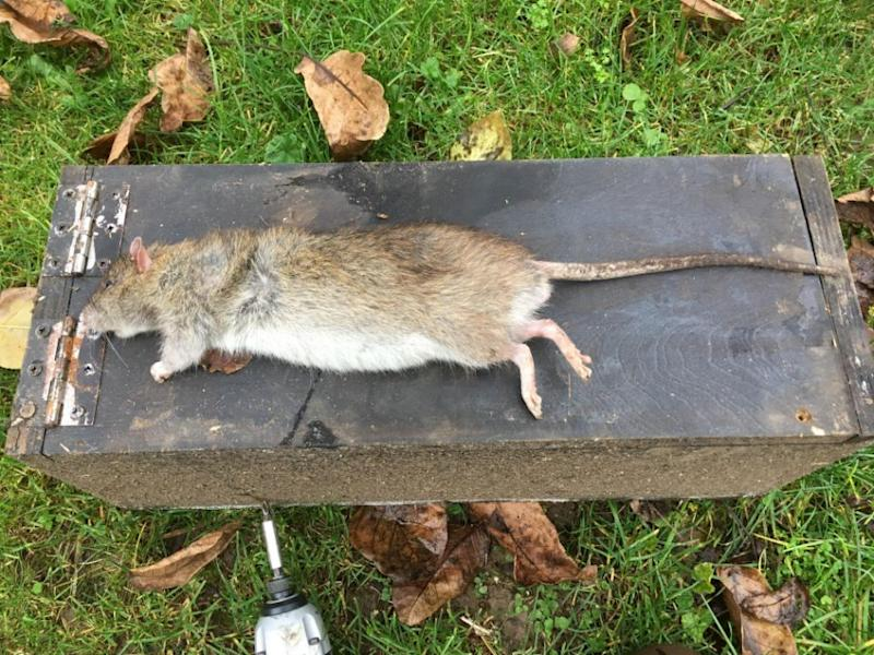 The giant UK rat measured almost 50 cm from head to tail. Photo: Mega