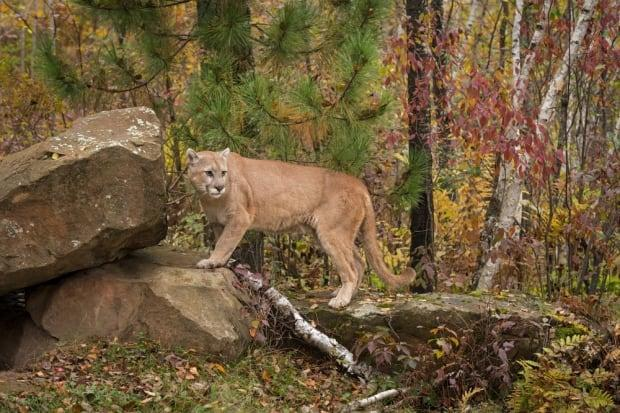Since April 2020, the B.C. Conservation Officer Service has received more than 80 cougar reports from Anmore, Belcarra and Port Moody in Metro Vancouver. (Geoffrey Kuchera/Shutterstock - image credit)