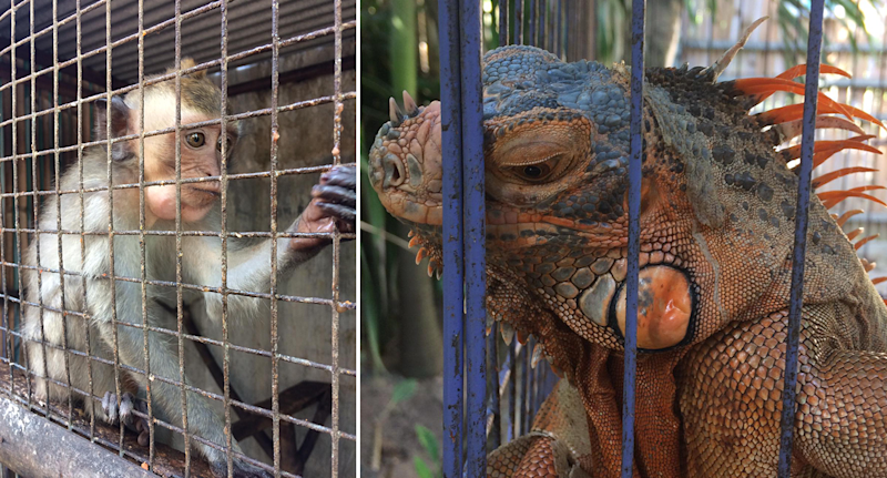 Split screen. A monkey in a cage. A colourful lizard in a cage.