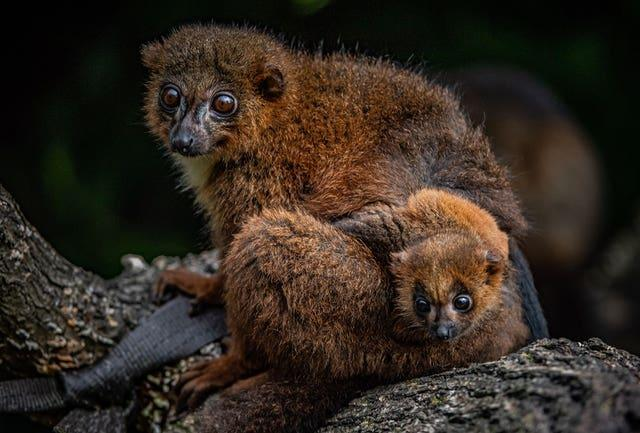 Undated Chester Zoo handout photo of one of their red-bellied lemurs with their new arrival, the first of the species to be born at the zoo. Issue date: Thursday May 20, 2021