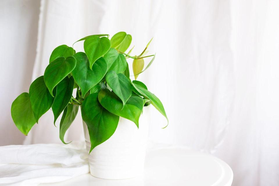"""<p>This vining plant is made up of glossy, heart-shaped leaves that fill out a hanging basket nicely. They prefer moderate light, and should dry out slightly between waterings.</p><p><a class=""""link rapid-noclick-resp"""" href=""""https://go.redirectingat.com?id=74968X1596630&url=https%3A%2F%2Fbloomscape.com%2Fproduct%2Fphilodendron-heartleaf%2F&sref=https%3A%2F%2Fwww.goodhousekeeping.com%2Fhome%2Fgardening%2Fg32440507%2Fbest-indoor-hanging-plants%2F"""" rel=""""nofollow noopener"""" target=""""_blank"""" data-ylk=""""slk:SHOP PHILODENDRON HEARTLEAF"""">SHOP PHILODENDRON HEARTLEAF</a></p>"""