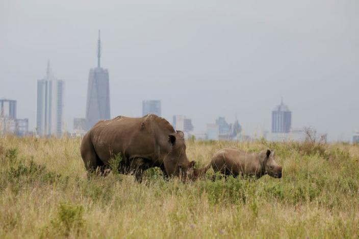 A southern white rhino and her calf are seen inside the Nairobi National Park with the Nairobi skyline in the background, in Kenya