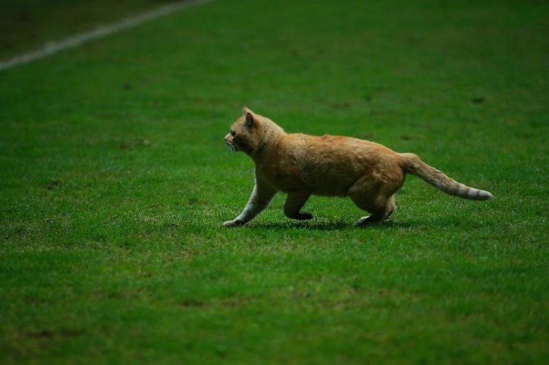 TOLUCA, MEXICO - NOVEMBER 19: A cat makes its way on the field during the match between Mexico and Bermuda as part of the Concacaf Nation League at Nemesio Diez Stadium on November 19, 2019 in Toluca, Mexico. (Photo by Manuel Velasquez/Getty Images)
