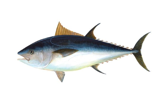 """<p><b>Tuna-of-the-Month Club</b></p><p>For six packs of SafeCatch's next-gen albacore tuna — every single fish is sustainably caught and tested for mercury — delivered to your door.<i><a href=""""https://safecatch.com/"""" title=""""$27 Per Month, Safe Catch"""">$27 Per Month, Safe Catch</a></i></p><p><a href=""""http://www.grubstreet.com/2015/11/gift-guide-food-drink.html?mid=yahoofood""""><i><b>For the rest of our favorite edible gifts, head over to Grub Street!</b></i></a><br /></p>"""