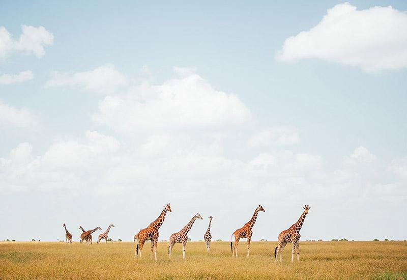<p>Where can you find herds of zebra and giraffe, lion and the endangered black rhinos living free and wild just 20 minutes away from a major city centre? Nairobi National Park, of course. Kenya's first national park, it remains one of the country's greatest treasures.</p>