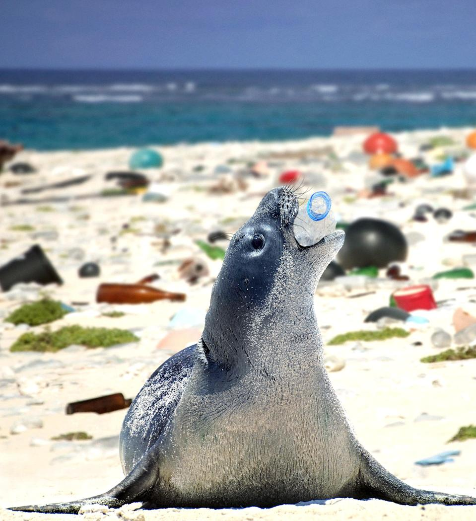 <p>A Hawaiian monk seal, neomonachus schauinslandi, plays with an empty plastic bottle on a beach covered with plastic garbage. (Composite photograph by Paulo de Oliveira/ARDEA/Caters News) </p>