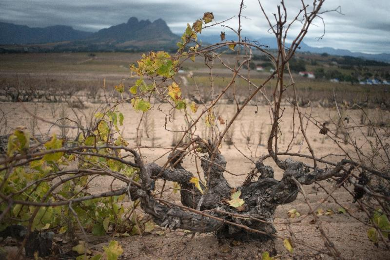Unsupported Chenin Blanc bush vines grow on a farm managed by the Kleine Zalze estate (AFP Photo/Rodger Bosch)