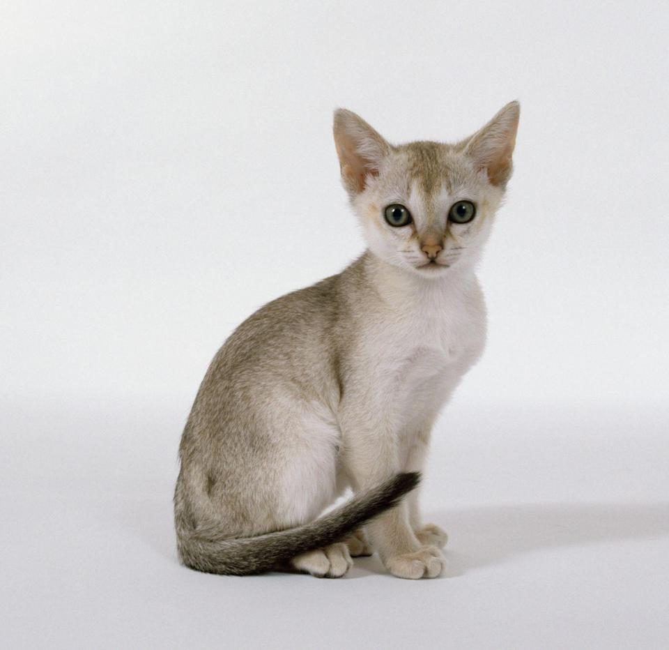 "<p>The Singapura is similar to a dog because they <a href=""http://www.vetstreet.com/cats/siamese#0_ryz4d6cf"" rel=""nofollow noopener"" target=""_blank"" data-ylk=""slk:will trust"" class=""link rapid-noclick-resp"">will trust</a> their human completely. </p>"