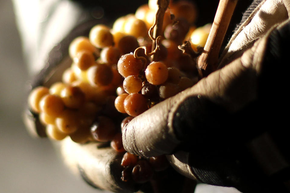 Christian Ress, owner of German winemaker Balthasar Ress, picks frozen grapes during the harvest for his famous ice wine in Hattenheim, 30 km (19 miles) southwest of Frankfurt, in the early morning hours of December 3, 2010. After three days of constant temperatures below minus five degree celsius the winemaker expects to produce at least 100 bottles, each of which will come at over 100 euros.    REUTERS/Kai Pfaffenbach (GERMANY - Tags: ENVIRONMENT SOCIETY BUSINESS)
