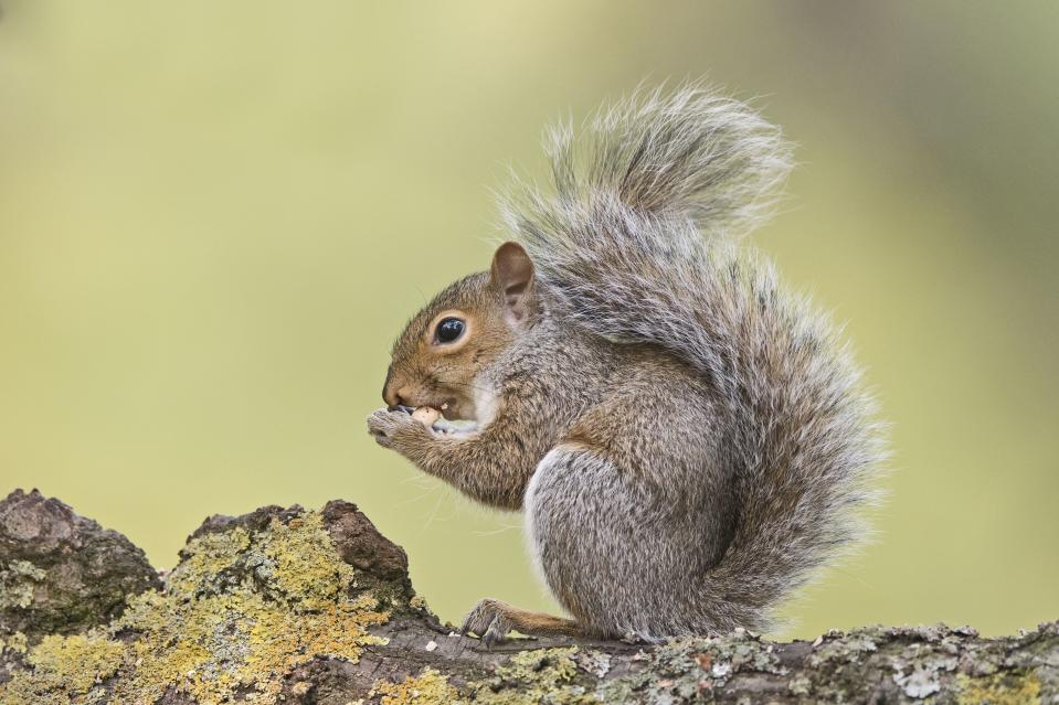 Eastern Gray Squirrel, Sciurus carolinensis, eating sweet chestnut Bushy Park London. (Photo by: David Tipling/Education Images/Universal Images Group via Getty Images)