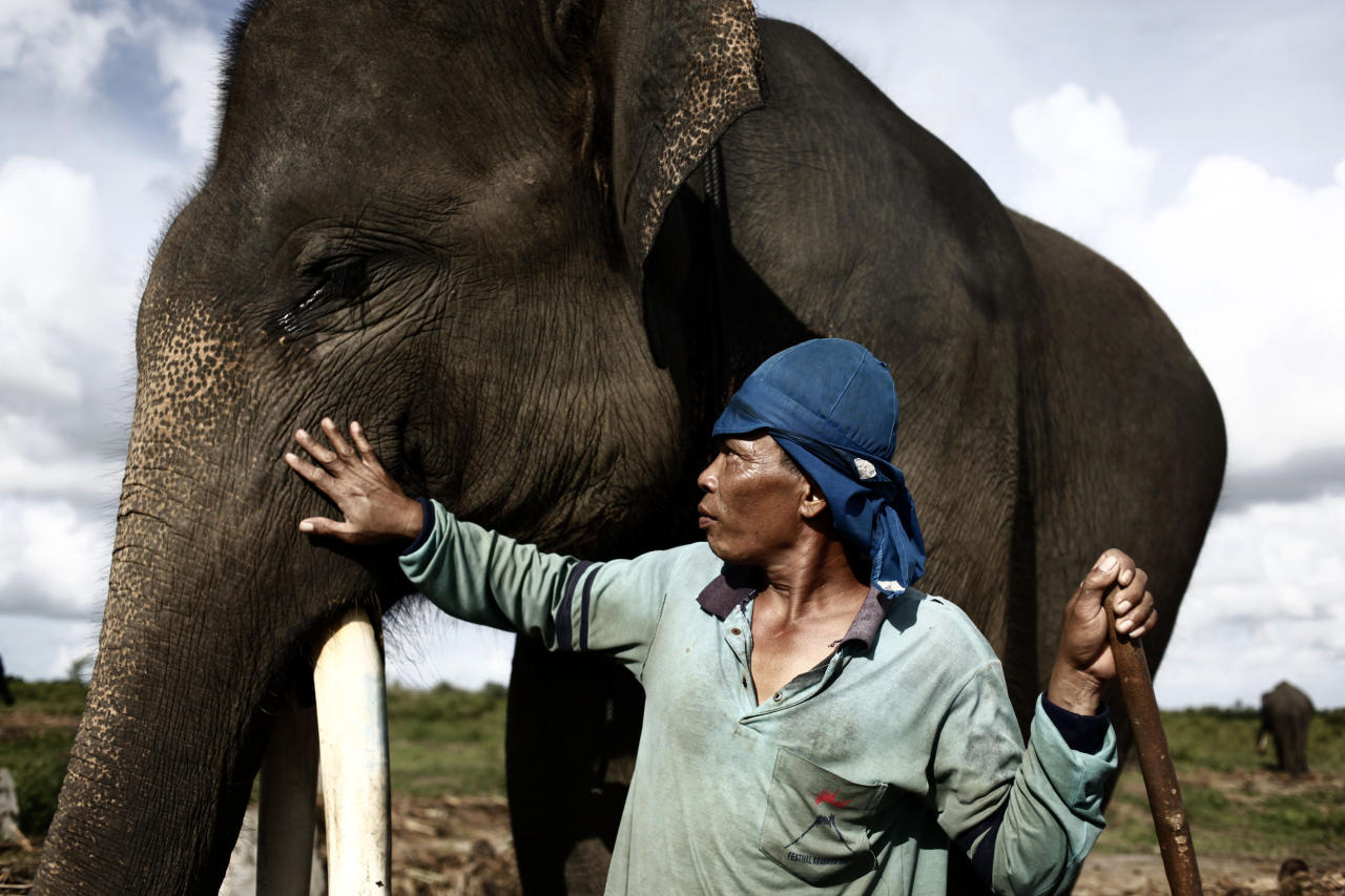 WAY KAMBAS, LAMPUNG, INDONESIA - JUNE 14:  A trainer give treatment to a Sumatran elephant in between patrolling the conservation looking for illegal loggers who are destroying the habitat of Sumatran elephants on June 13, 2010 in Way Kambas, Lampung, Indonesia. Sumatran elephants are becoming increasingly endangered due to the destruction of their habitat by logging, palm oil and rubber industries. This has resulted in the animals invading local villages trampling locals to death and destroying homes and crops. Villagers in Lampung saw 327 elephants invade in a three month period during 2009, causing death and destruction as their own habitat continues to be threatened. Forest rangers and activists from the Wildlife Conservation Society are trying various methods to return them to the forest, including training them to keep away, along with hunting for illegal loggers. The current population for the mammals is estimated at 2000 to 2700. (Photo by Ulet Ifansasti/Getty Images)