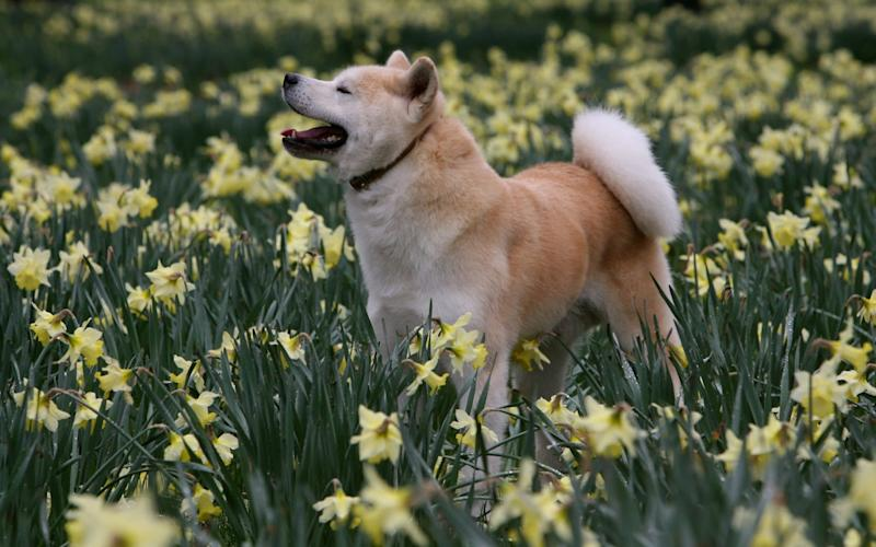 An Akita was found to have been killed by its owner. The dog in this photo was not the dog killed, but is the same breed. - Paul Grover