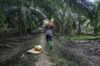 A female worker carries a bag of fertilizer in a palm oil plantation in Sumatra, Indonesia, on Tuesday, Nov. 14, 2017. Some women say they suffer from fallen womb, caused by the weakening of the pelvic floor from repeatedly squatting and carrying overweight loads. They sometimes create makeshift braces by tightly wrapping scarves or old motorbike tire tubes around their mid-sections. (AP Photo/Binsar Bakkara)