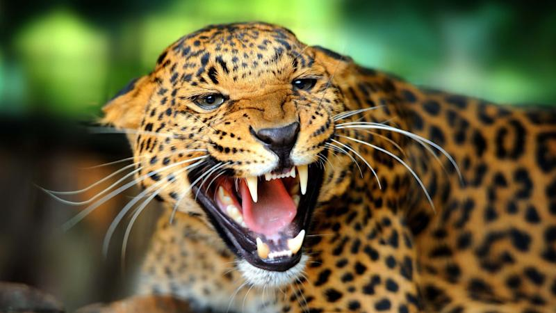A jaguar attacked a woman while she tried to take a selfie