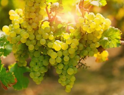 Grapevine disease management has been identified by the grape grower and wine industries as a top priority for long‐term sector sustainability. (CNW Group/Genome British Columbia)
