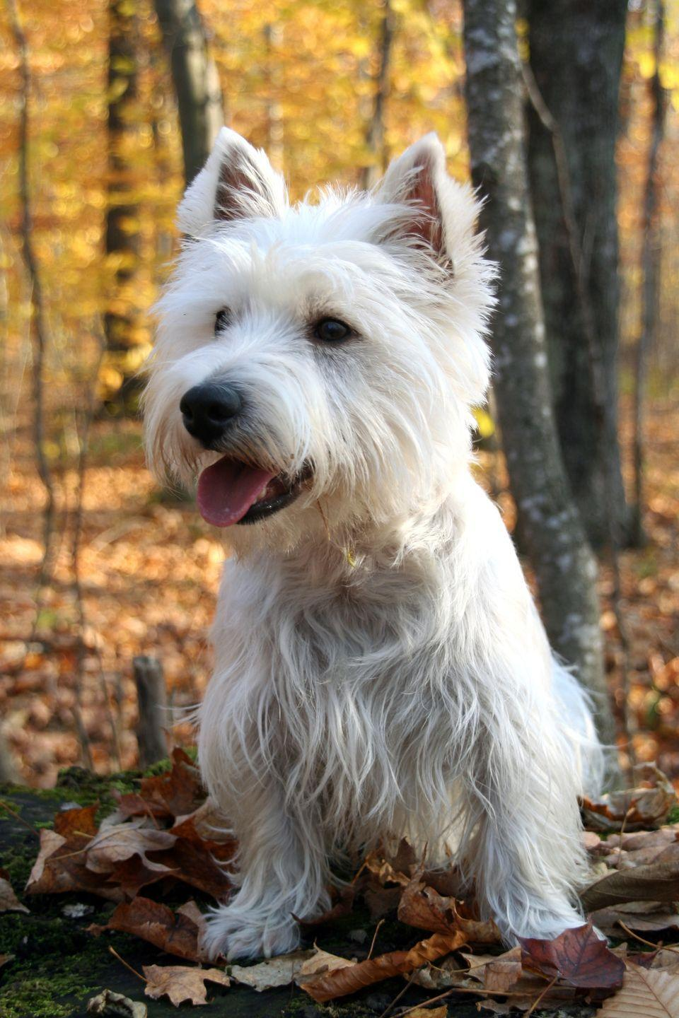"""<p>Just like other terriers, Westies possess the same curious and lively temperament — with the added bonus of minimal shedding. These hardy dogs have a <a href=""""https://www.goodhousekeeping.com/life/pets/g4531/cutest-dog-breeds/"""" rel=""""nofollow noopener"""" target=""""_blank"""" data-ylk=""""slk:cheerful attitude"""" class=""""link rapid-noclick-resp"""">cheerful attitude</a> that will keep you giggling with their playful antics. Their portable size and friendly disposition make them some of the most popular terriers. </p>"""