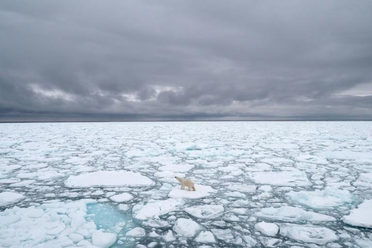 Many polar bears are already facing a climate-driven threat as dwindling sea ice cuts short the time they have to hunt seals, their preferred prey