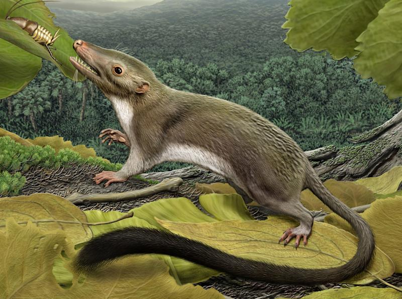 This 2012 artist's rendering provided by the American Museum of Natural History shows a hypothetical placental mammal ancestor, a small, insect-eating animal. A study released Thursday, Feb. 7, 2013 details the family tree of mammals that have lengthy gestations before birth. It goes back to this shrewish critter slightly bigger than a mouse with a nasty set of teeth. And it first popped in the world a little more than 65 million years ago - just after the cosmic crash which is theorized to have caused the extinction of non-avian dinosaurs. (AP Photo/American Museum of Natural History, Carl Buell)
