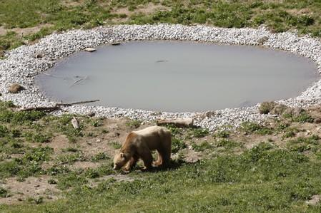 Bear Napa walks along a pond at the Arosa Baerenland sanctuary in the mountain resort of  Arosa
