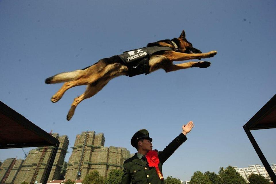 Police dogs undergo intensive physical and mental training. Photo: Getty