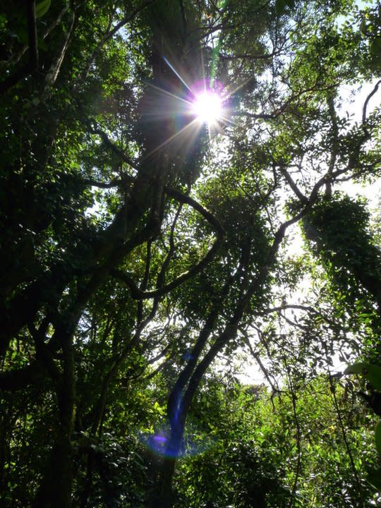 This is the shola forest, characteristic of the higher reaches of the Western Ghats. On the dark, cool forest floor, sunlight is a stranger but a welcome visitor nonetheless.