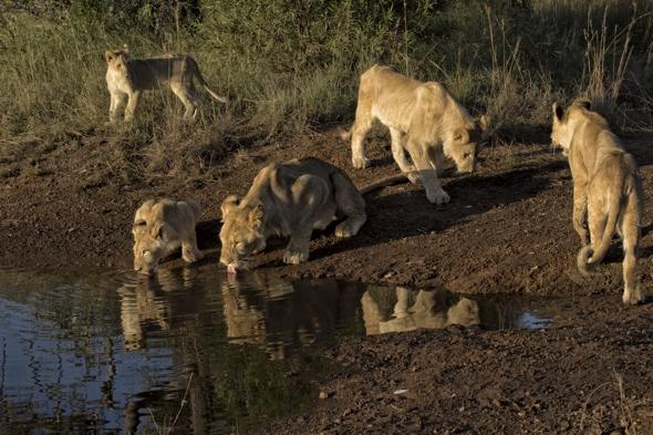 Crocodile gives lions fight of their life at South Africa watering hole (pictures)