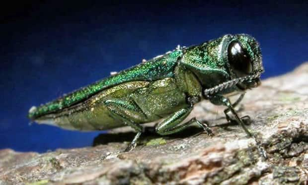 Emerald ash borer females lay eggs in bark crevices on ash trees and larvae feed underneath the bark of ash trees. (Minnesota Department of Natural Resources - image credit)